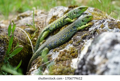 Two green lizards on a stone.