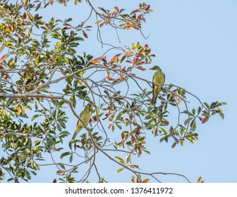 Two green orioles perched in leafy tree branches under a bright blue sky in Darwin, Australia