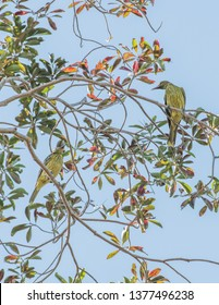 Two green orioles perched in tree branches under a bright blue sky in Darwin, Australia