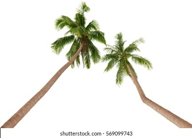 Two green palm trees inclined to one another isolated on white background