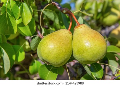 Two green pears hanging at tree in orchard