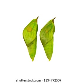Two green pupae of the white angled-sulphur butterfly, Anteos clorinde, isolated on white background. Pupae is a stage between caterpillars and butterflies. Side view. Forming butterfly wings are seen