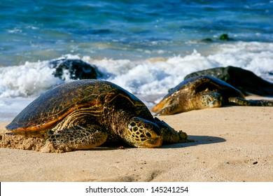 Two Green Sea Turtles
