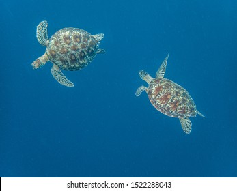 Two green sea turtles (chelonia mydas) seen circling each other near the surface. Moalboal, Cebu, Philippines.