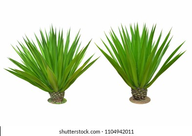Two green sisal bushes on white background