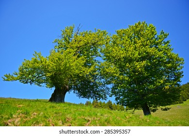 two green trees, summer time