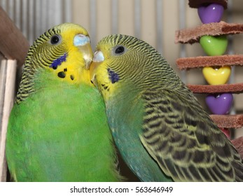 Two Green and Yellow Parakeets - Close up photograph of two standard green and yellow parakeets.  Selective focus on the head area of the birds.