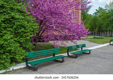Two greens benches under a Judas tree which is noted for its prolific display of deep pink flowers in spring