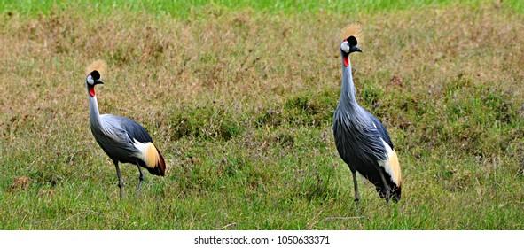 Two grey crowned cranes (Balearica regulorum) in Ngorongoro Crater Tanzania