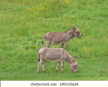 Two grey donkeys in green pasture: one eating, other shouting or braying