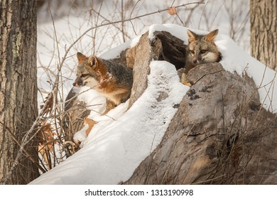 Two Grey Foxes (Urocyon cinereoargenteus) in Log Winter - captive animal