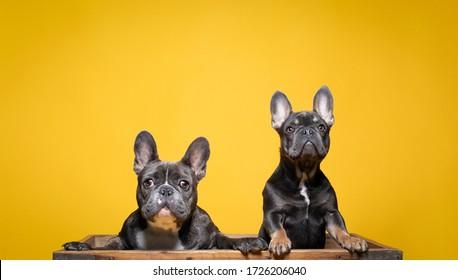 2人のグレイのフランス人のブルドッグ犬が、かわいい顔を持つカメラの上を見回している。 無地の黄色い背景。