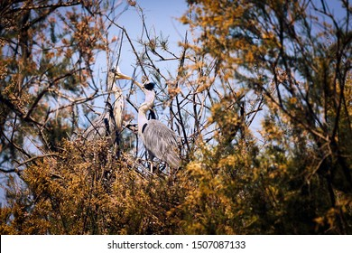 Two grey heron birds touching beaks which looks like a kiss. Very cute and romantic shot. Sitting high in the trees. Wildlife natural photo.