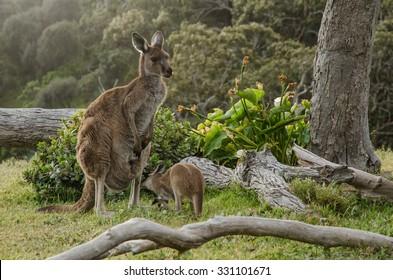 Two grey kangaroos in Australian wildlife bush