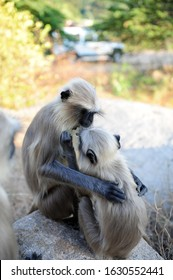 Two grey langurs sit on rock and take care of each other. Wildlife. Langur Indian Hanuman specie of Monkey, close up.