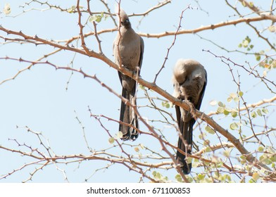 Two grey Louries