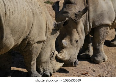 Two grey rhinos face each other with their horns big counterparty