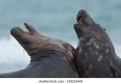 Two grey seal fighting and biting