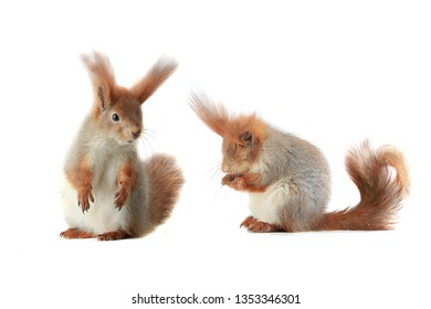 two grey squirrel on a white background