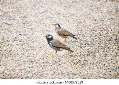 Two grey starling walking on the sand
