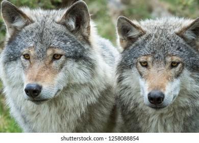 Two grey wolves closeup portrait. Wildlife, nature, predator concepts.