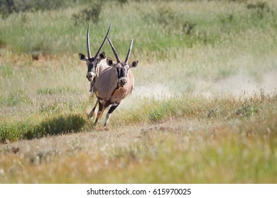 Two grey-brown antelope Gemsbok, Oryx gazella, territorial male in mating season chasing a second male after fight for dominance in their typical environment. Mating season, Kalahari, South Africa.