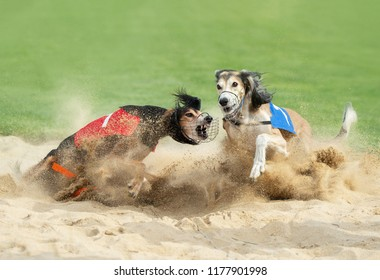 two greyhound dogs fighting in the sandy finish