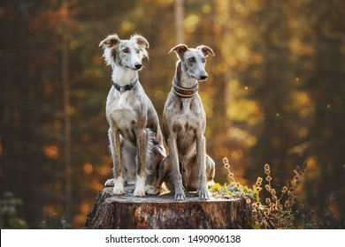 Two greyhounds in autumn. Portrait of two beautiful dogs. Dog friends. Greyhound.