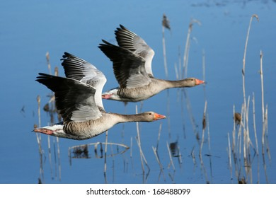 Two Greylag Goose in flight