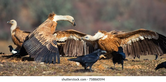 Two griffon vulture (Gyps fulvus) and hiss at each other.