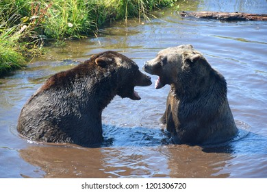 Two Grizzly Bears Playing
