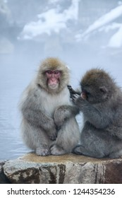 Two grooming snow monkeys sitting at the edge of an onsen (hotspring) in the Jigokudani Monkey Park in Nagano, Japan.