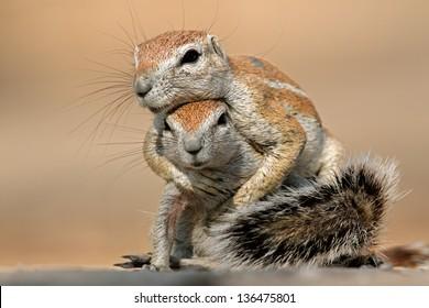 Two ground squirrels (Xerus inaurus) playing, Kalahari desert, South Africa