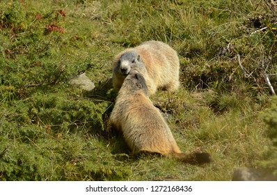 Two Groundhogs playing with each other on green Grass
