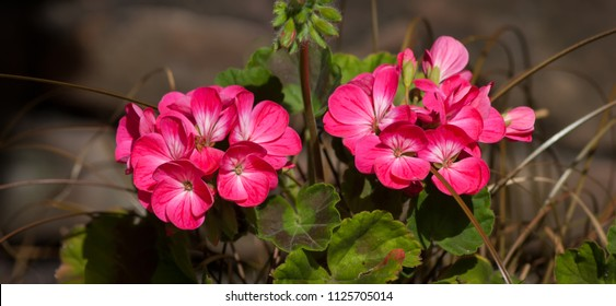 Two groups of pink Geranium flowers with brown background, panorama format