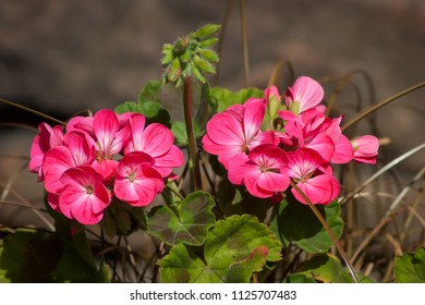 Two groups of pink Geranium flowers with brown background