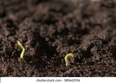 Two growing seeds above ground- new life