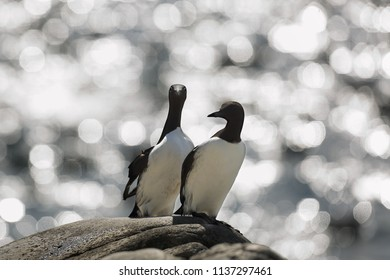 Two guillemot inside reflexion