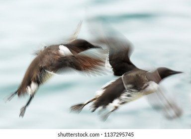 Two guillemots in flight