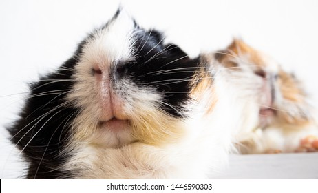 Two guinea pigs - close up of the white snouts