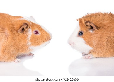 Two guinea pigs face to face isolated on white
