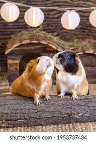 Two guinea pigs red black white home pets