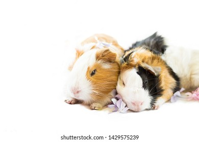 Two guinea pigs resting new born style ph