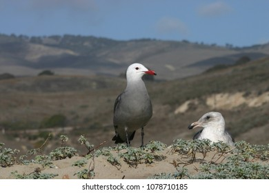 Two Gulls Atop A Dune