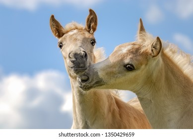 Two Haflinger horses foals playing side by side in a meadow, nibbling their nostrils in front of blue sky