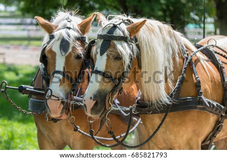 Two Haflinger Horses Ready Carriage Stock Photo (Edit Now) 685821793