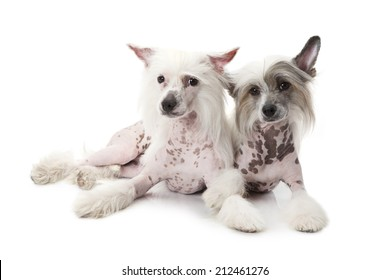 Two Hairless Chinese Crested dogs isolated on white