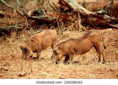 """Two hairy warthogs walking on knees and looking for some """"goodies"""" hidden under the surface. South Africa"""