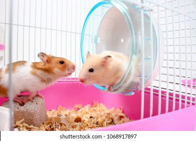 Two hamsters image