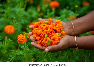 Two handfuls of orange marigold flowers displaying. A woman collecting marigold flowers.